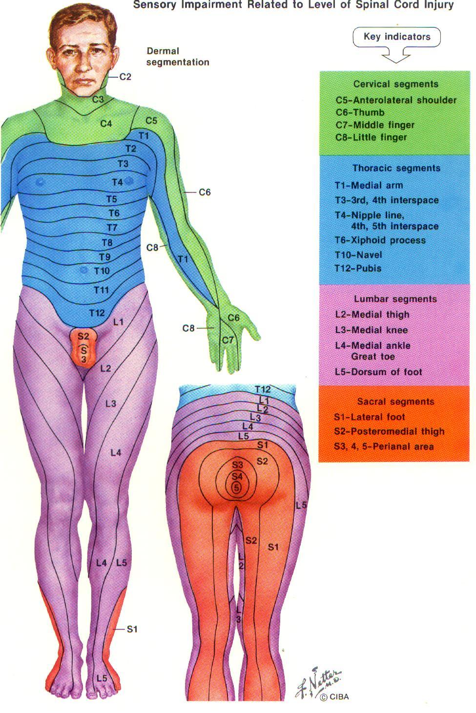 Skin structure, functions & dermatomes | Medatrio